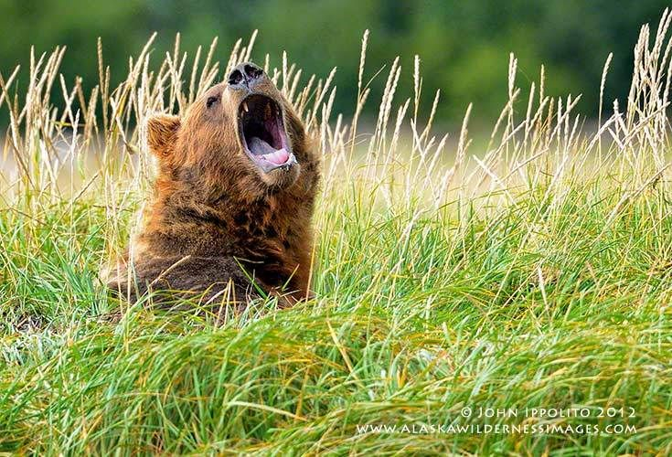 1_0_375_1brown_bear_yawn_4235_digimarc.jpg