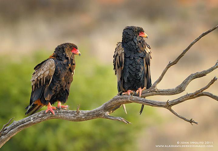 BateleursKgalagadi Tranfrontier Park, South Africa/Botswana