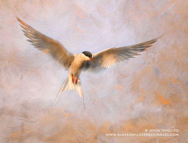 Arctic Tern Fresco