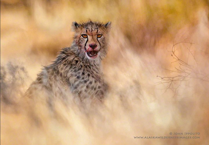 KalahariCheetah Cub