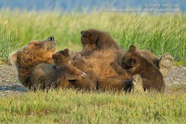 6_0_462_1grizzly_with_cubs_2658_process_a_no_sharp_sig_digimarc_website_100k.jpg