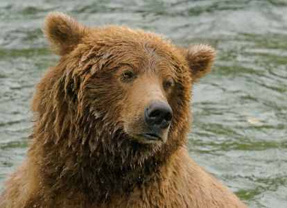 Bear Portrait 2-close.jpg
