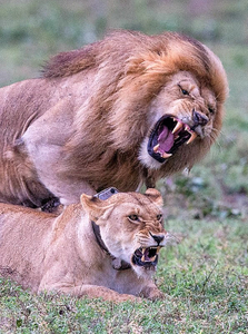 Mating Lions Close.jpg