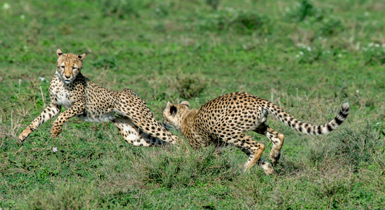 Cheetahs Playing 2.jpg