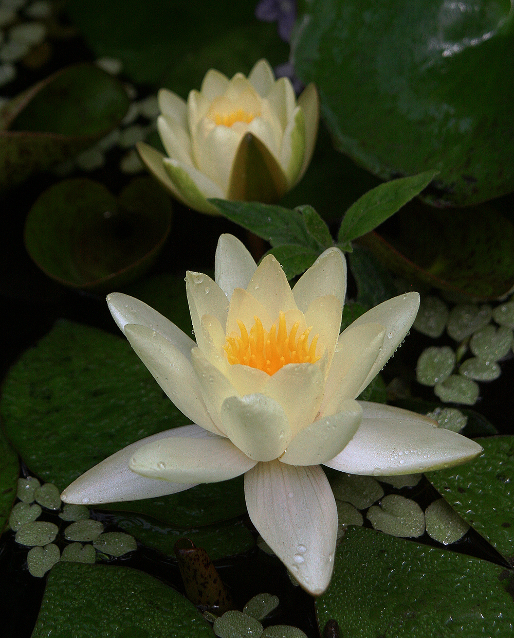 1lillies_large2.jpg