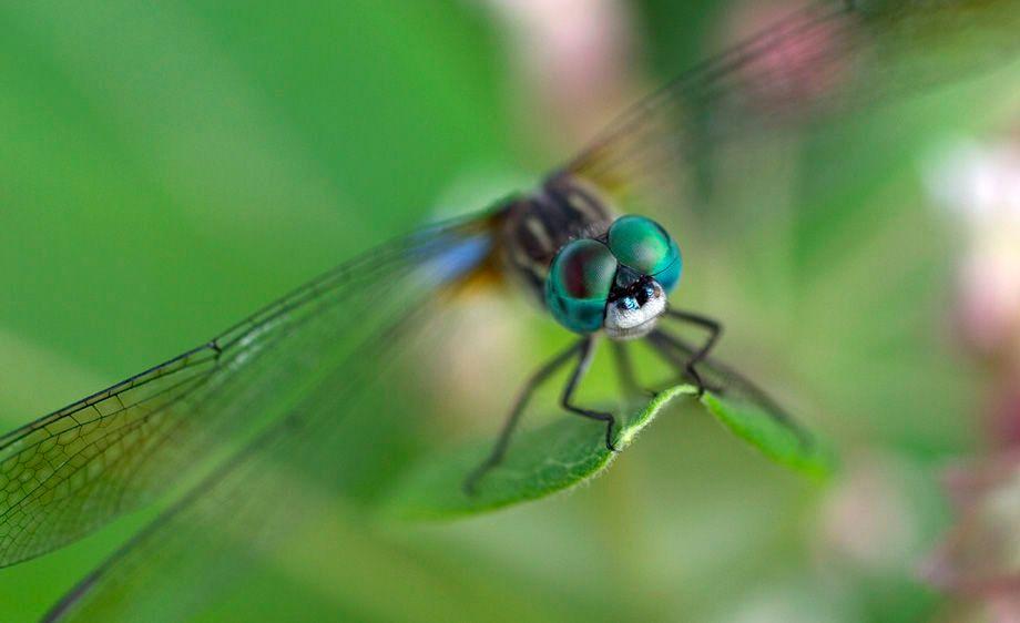 Male Swift Long-winged Skimmer