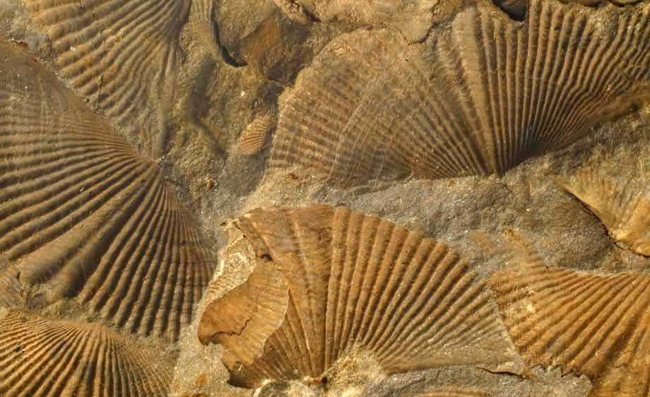 Fossilized Brachiopods