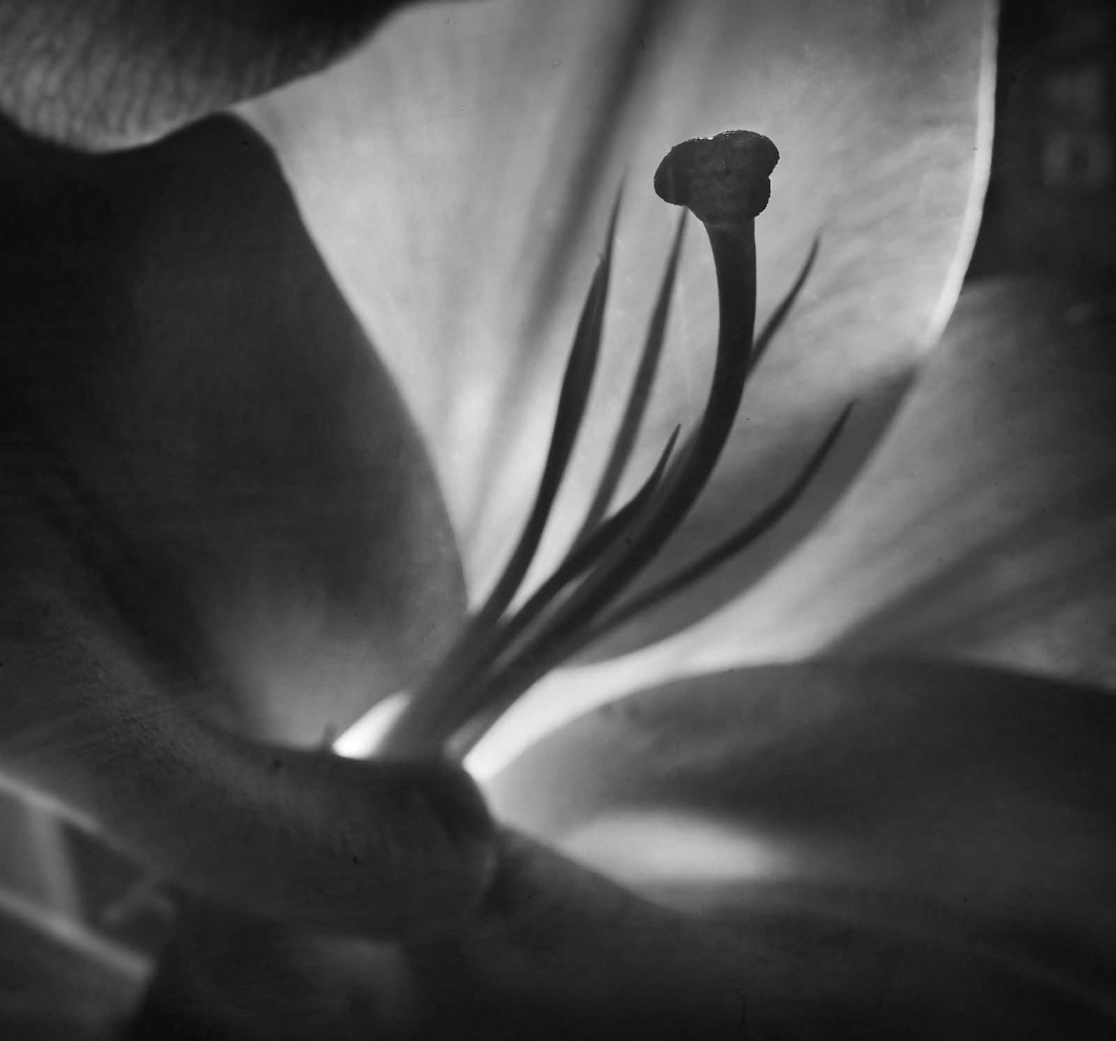 1flora_lily_31191_layers_pss