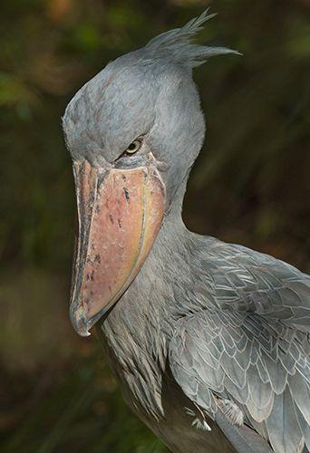 Shoebill Stork 1 sRGB.jpg