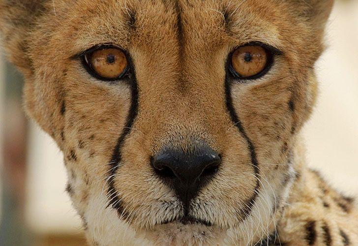 Cheetah run 4 sRGB.jpg