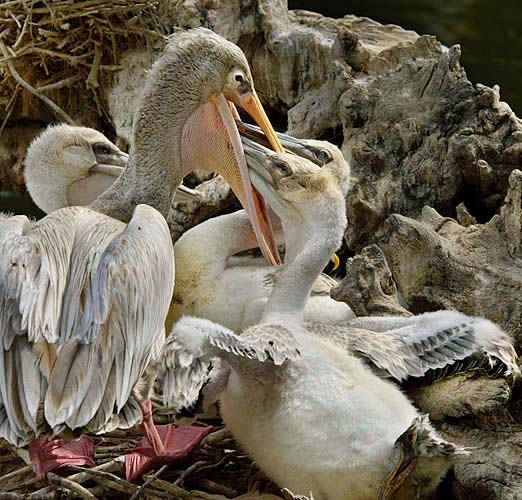 Pink-backed pelicans 4 sRGB.jpg
