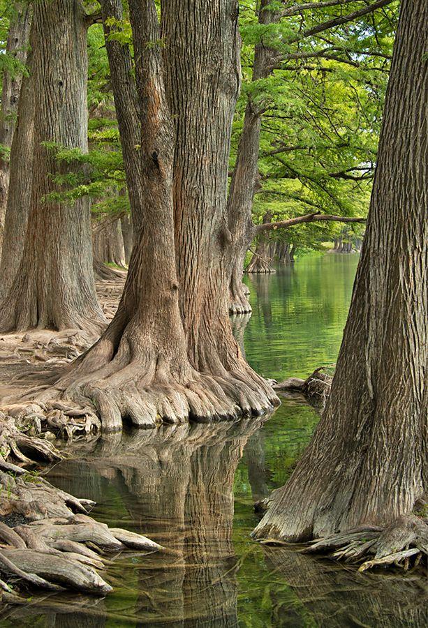 Frio River Cypresses