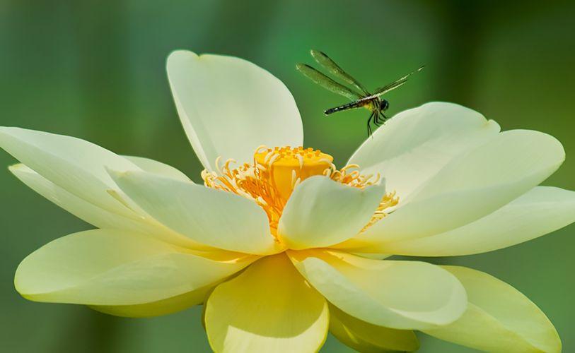 Lotus dragonfly 1.2
