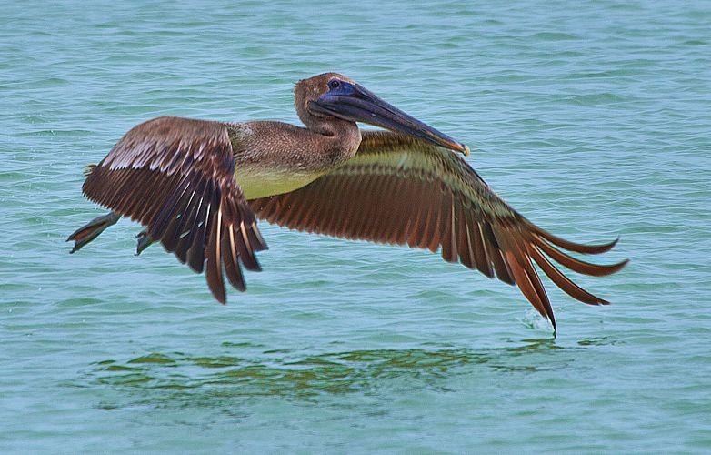 Pelican 5 sRGB.jpg