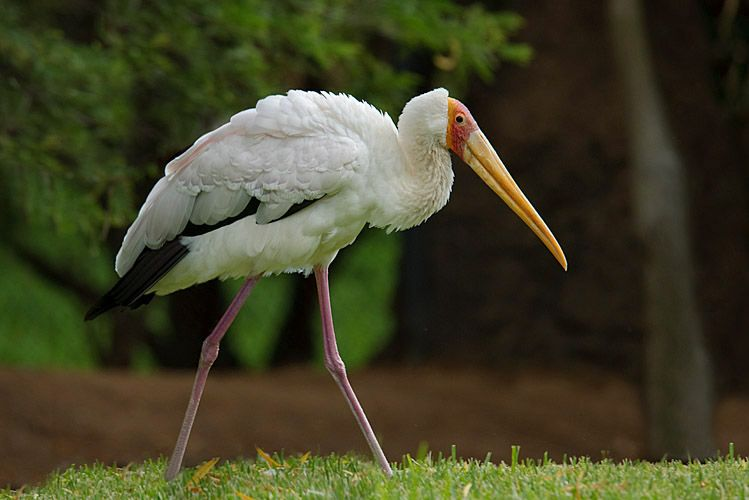 Yellow-billed Stork sRGB.jpg
