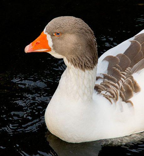 Blue-eyed duck 1.2