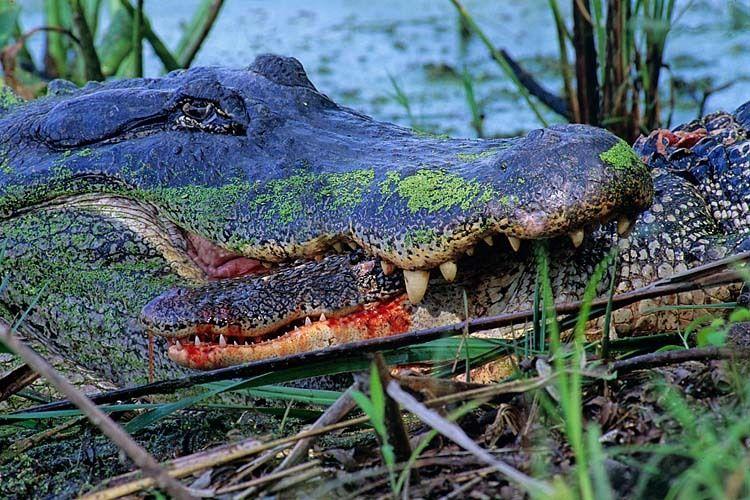 Alligator Justice 1