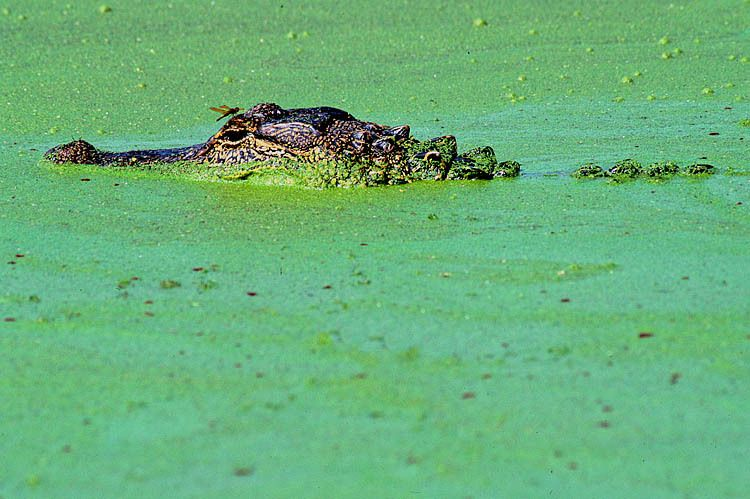 Alligator Soup 1