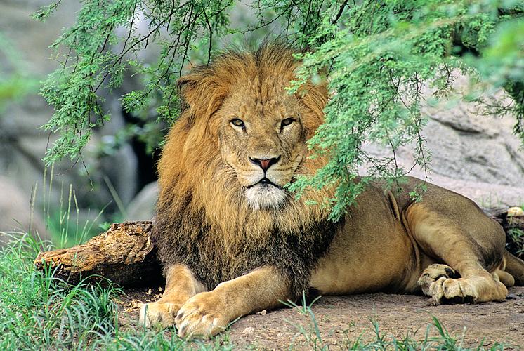 Lion sRGB.jpg