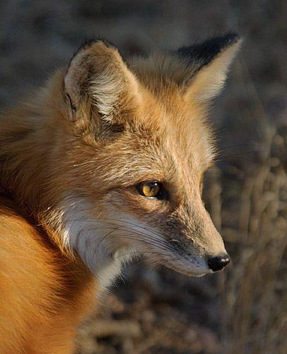 Fox 1.2