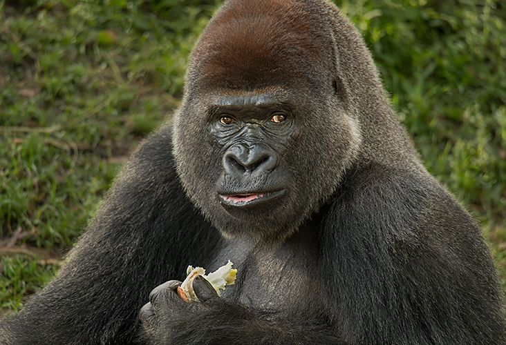 Lowland Gorilla sRGB.jpg