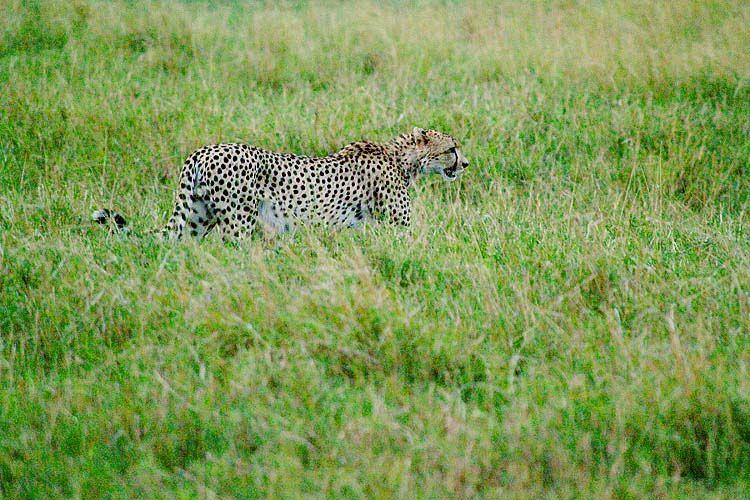 Cheetah 1 sRGB.jpg