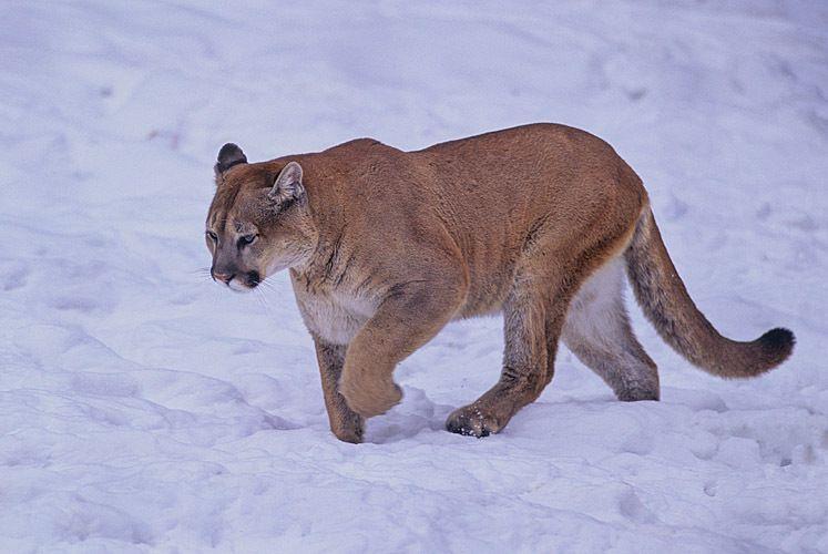 Mountain Lion 1
