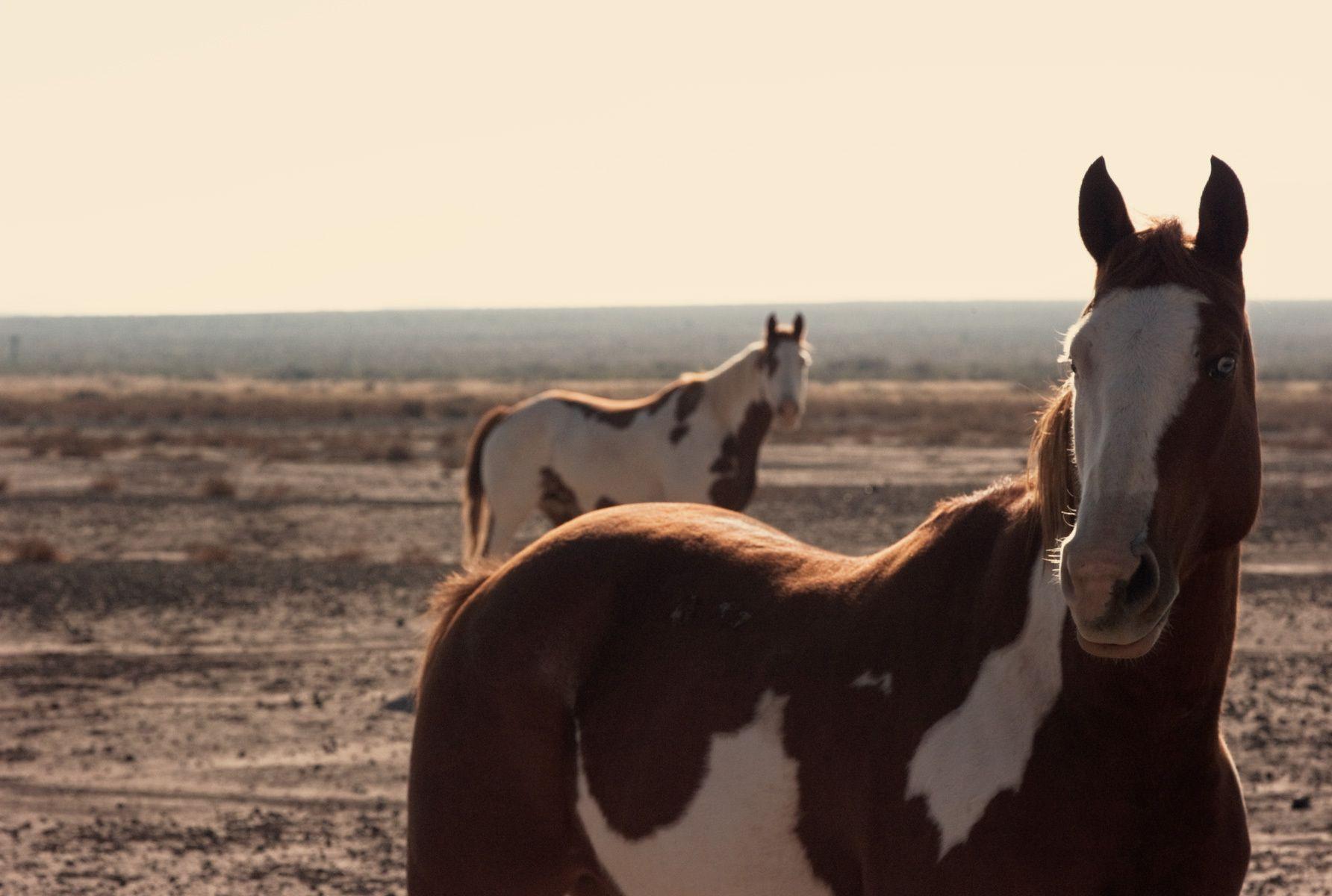 wild horses near Big Bend, Texas