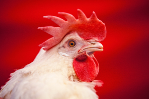 Portrait of an Egg Laying Chicken on Against Red Backdrop