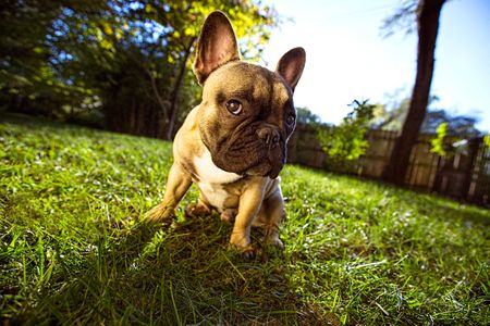 A French Bulldog Puppy