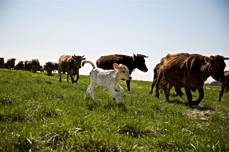 Calf & Dairy Cows Running in a Field