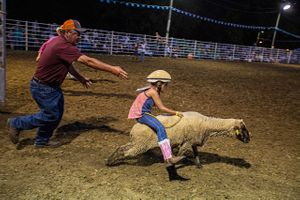 Lamb Mutton Busting Racing at a Rodeo