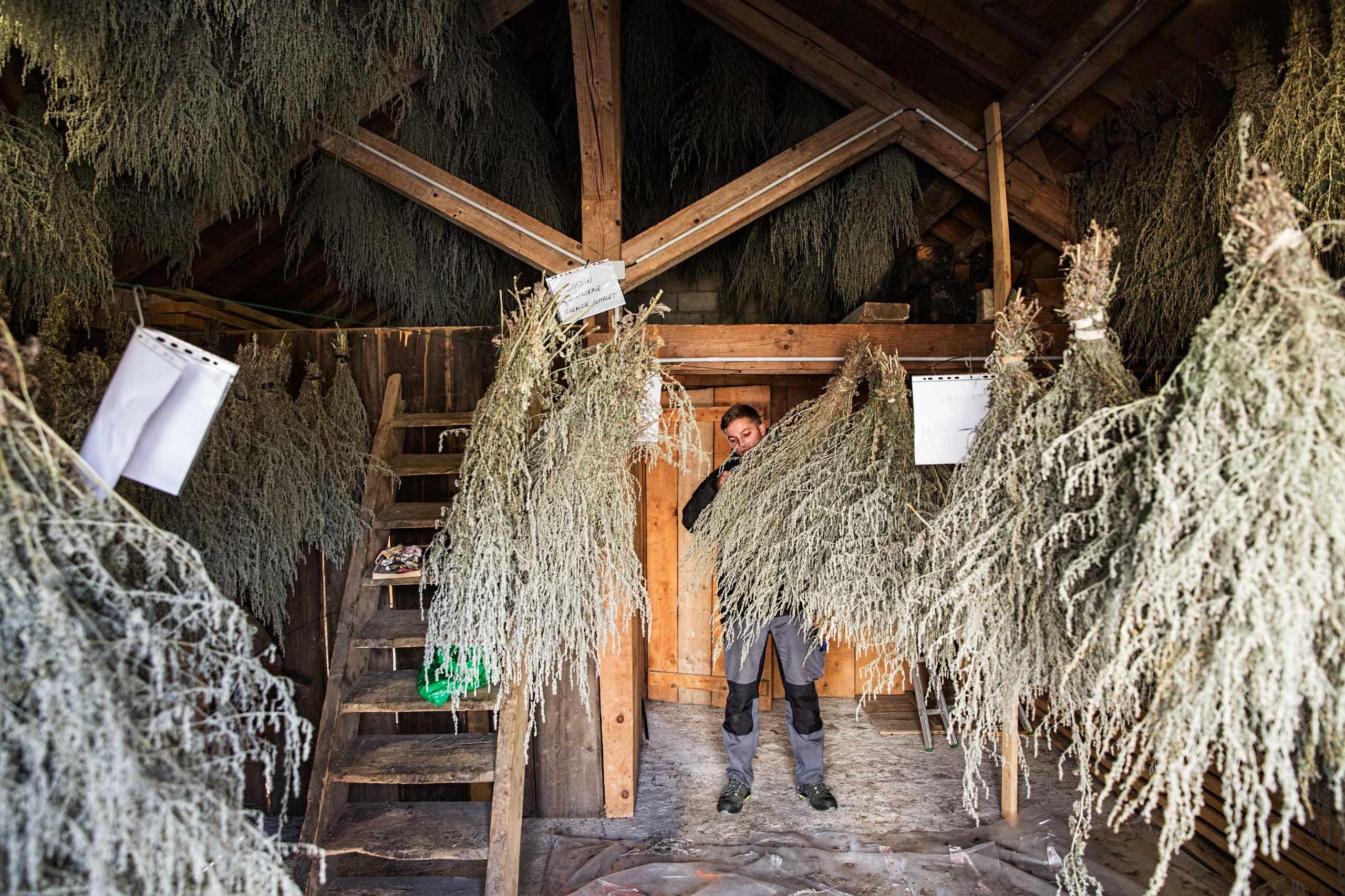 Pierre Guy Inside a Barn Full of Drying Absinthe Plants