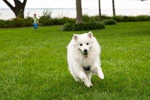 Dog Running at the Camera