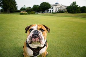 Bulldog on a Golf Course