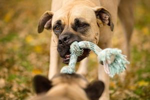 Mastiff  PlayingTug of War