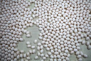 Overhead shot of Eggs Being Sorted