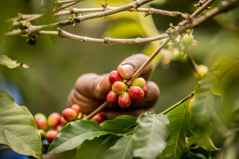 Hand Picking Coffee Cherries