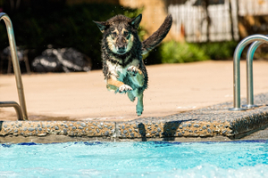 German Shepard Jumping into the Pool