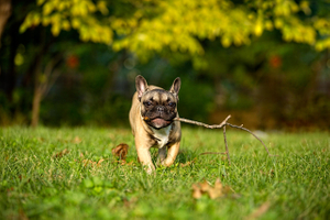 A French Bulldog with a Stick