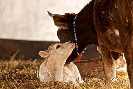 Calf With Mother Cow