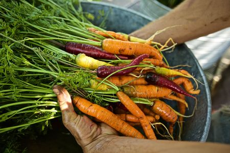 Hands Holding Organic Carrots