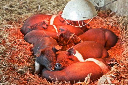 Piglets Under a Heat Lamp