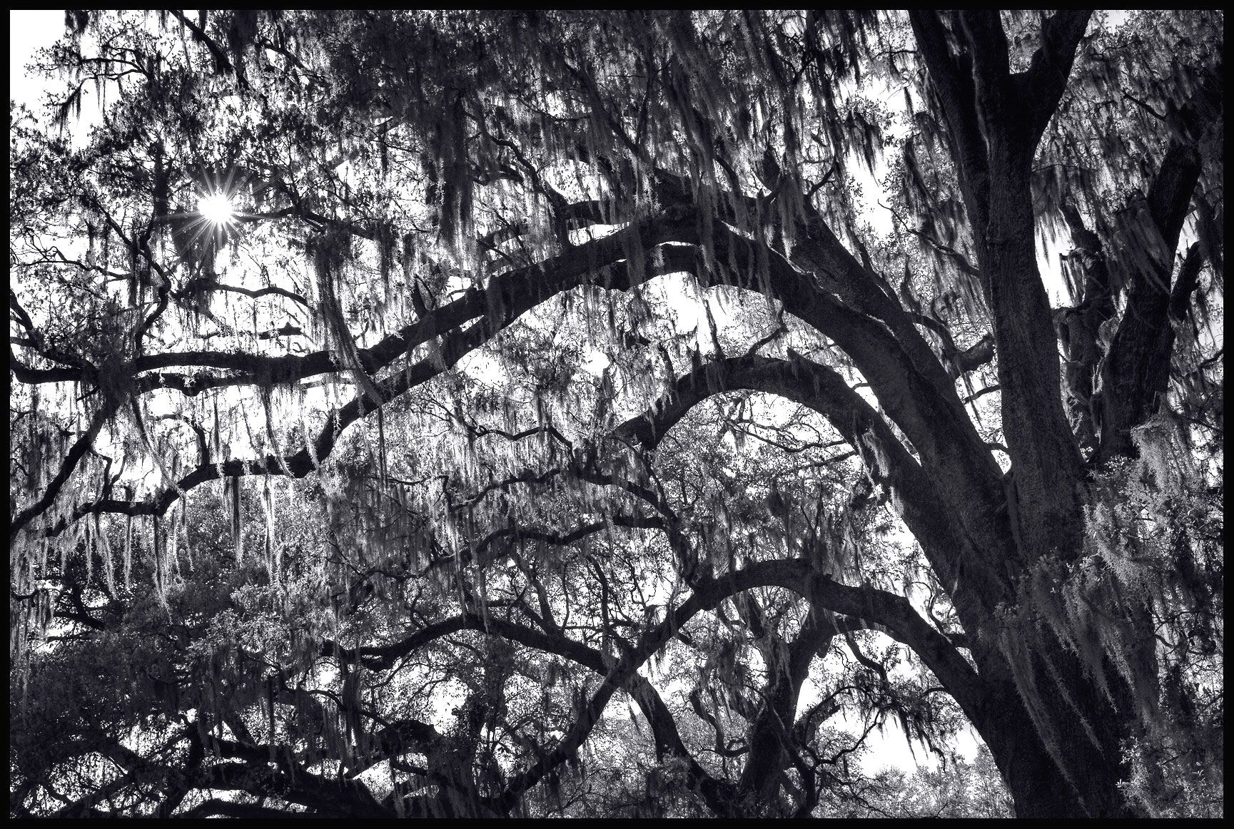 Live Oak with Spanish Moss - Audubon Park, - New Orleans, LA