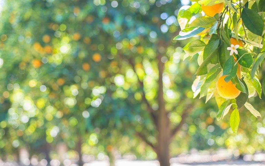 1r1238_citrus_trees_horizontal_16x10crop.jpg