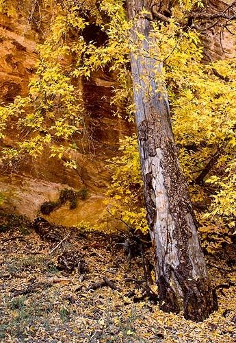 Autum Gold in Zion