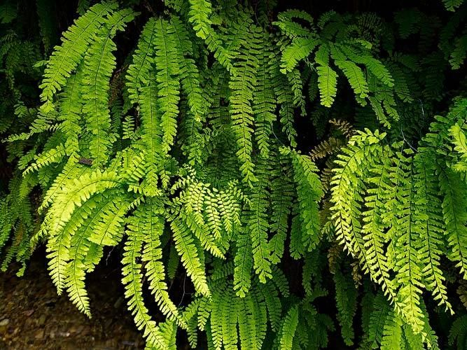 Delicate Ferns