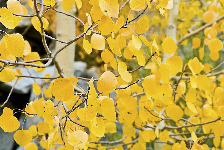 Fall Aspen Leaves