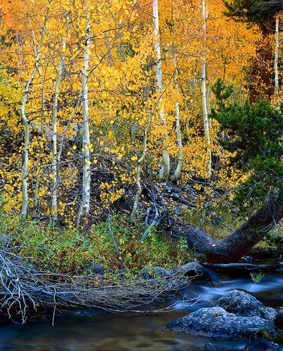 Golden Aspens, Bisho Creek in Fall