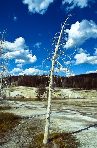 Ghost Tree, Yellowstone National Park